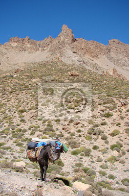 Mule in the High Atlas ( Morocco )