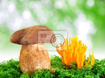 mushrooms Tylopilus felleus and Ramaria Formosa