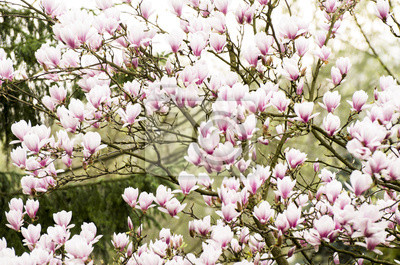 Wall mural my eco garden - pink magnolia flowers