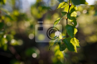 New leaf growing on birch and blurry background