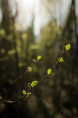 New leaves growing in twig