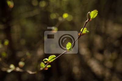 New leaves growing in twig at spring