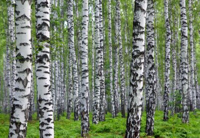 Wall mural nice summer birch forest
