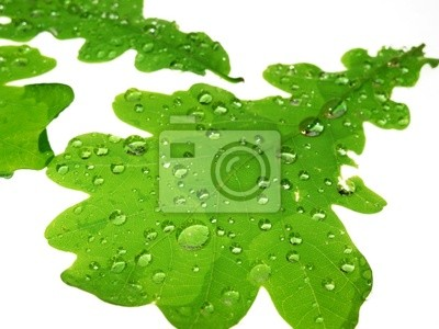 oak leaves with rain drops