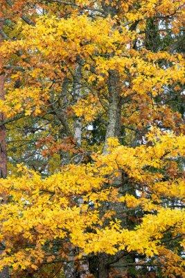Oak tree foliage in autumn colors