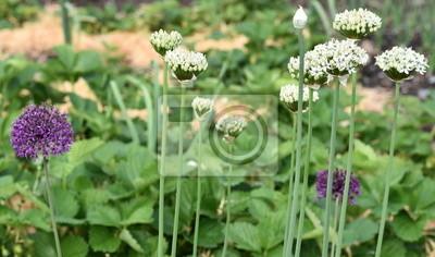 oignons...floraison