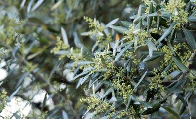 olivier...floraison