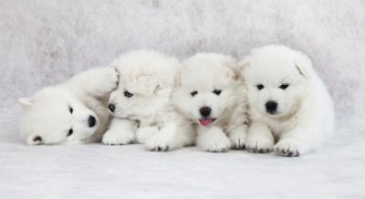 Wall mural One month old Samoyed puppies
