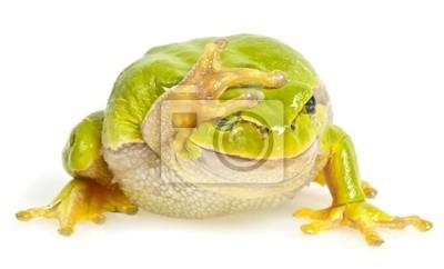 one tree frog isolated on white background