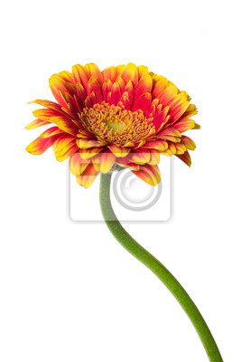 Orange flower gerbera