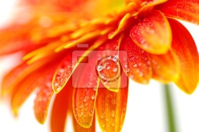 Wall mural orange gerbera