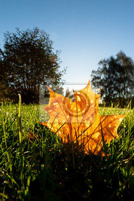 Orange leaf illuminated by backlight of morning sun