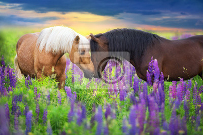 Wall mural Palomino and bay horse with long mane in lupine flowers at sunset