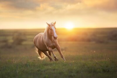 Wall mural Palomino horse run gallop in meadow at sunset light