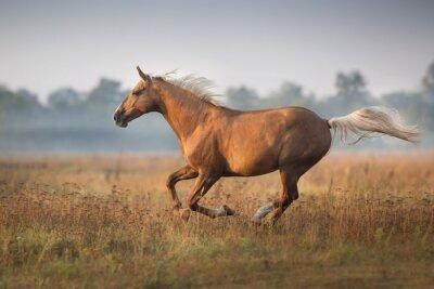Palomino horse run gallop in morning fog