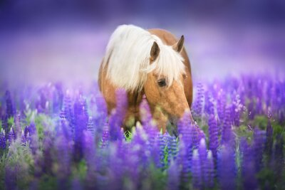 Wall mural Palomino horse with long mane in lupine flowers at sunset