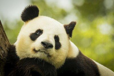 Wall mural Panda awake