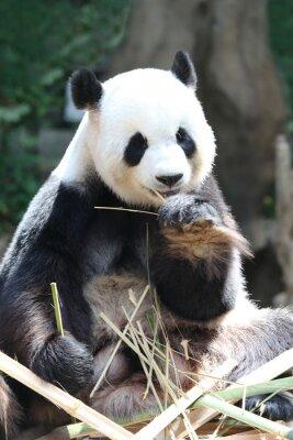 Wall mural Panda bear eating bamboo