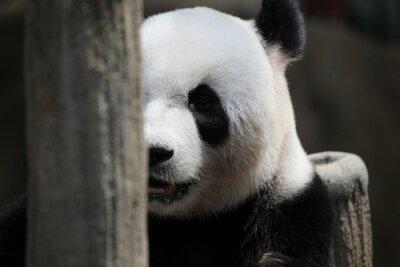 Wall mural Panda bear portrait