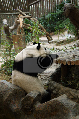 Wall mural panda bear resting