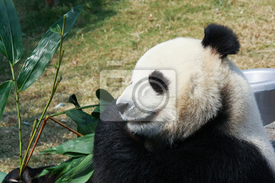 Wall mural Panda eating bamboo