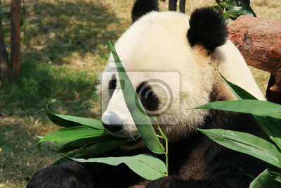 Wall mural Panda eating bamboo