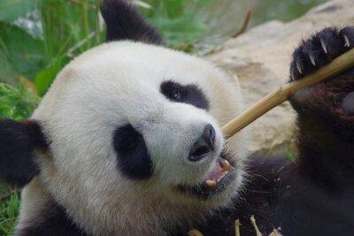 Wall mural panda géant