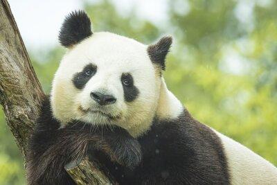 Wall mural Panda Portrait
