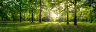 Wall mural Panoramic view of a forest with sunlight shining through the trees