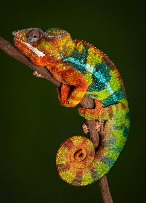 Wall mural Panther Chameleon at rest