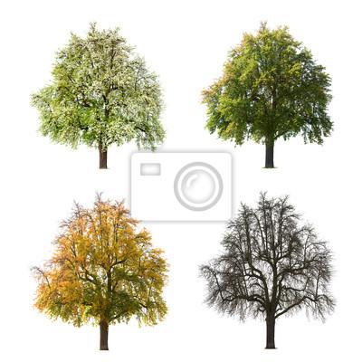 Pear Tree Seasons
