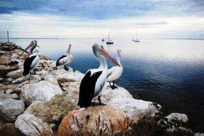 Wall mural Pelicans, Kangaroo Island, Australia