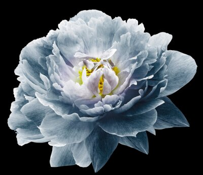 Wall mural Peony flower blue on the black isolated background with clipping path. Nature. Closeup no shadows. Garden flower.