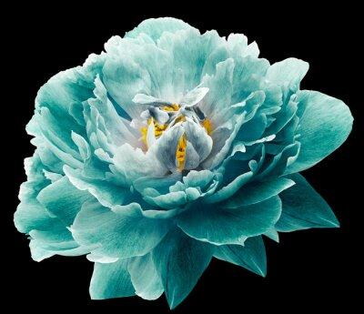 Wall mural Peony flower turquoise on the black isolated background with clipping path. Nature. Closeup no shadows. Garden flower.