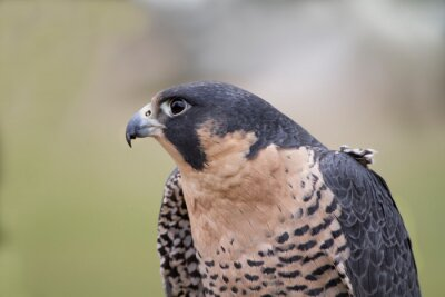 Peregrine Falcon Head and Shoulders Close up