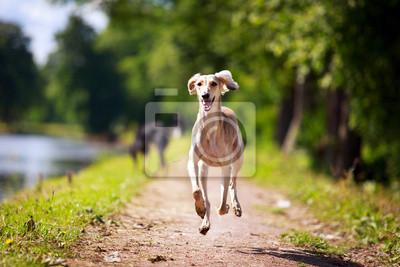Wall mural Persian Greyhound dog