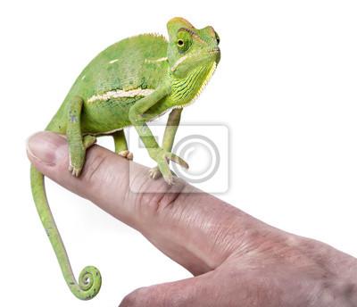 pet chameleon on a finger