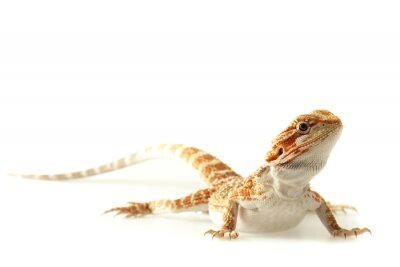 Wall mural Pet lizard Bearded Dragon isolated on white, narrow focus