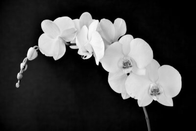 Wall mural Phalaenopsis aphrodite orchid, in black and white
