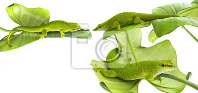 Phelsuma madagascariensis - gecko