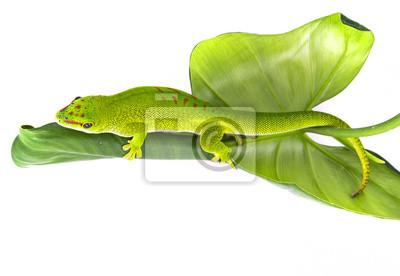 Phelsuma madagascariensis - gecko isolated on white