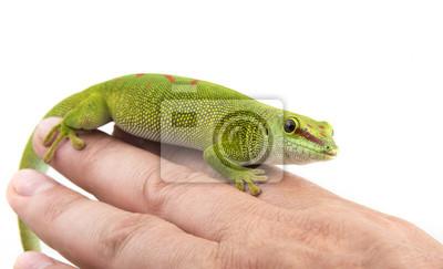 Phelsuma madagascariensis - gecko on a hand