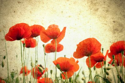 Wall mural Photo of a poppies flowers