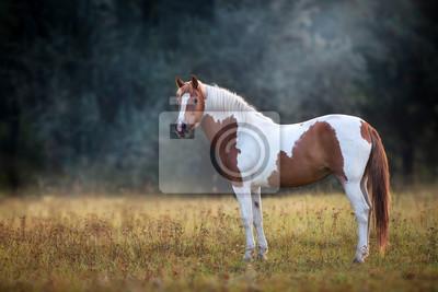 Piebald  horse standing in fog meadow