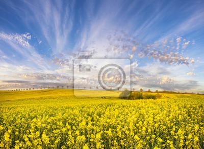 Piękne ,wiosenne pole,kwitnący rzepak i błękitne,dynamiczne niebo