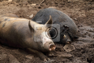 Wall mural pig and wild boar resting