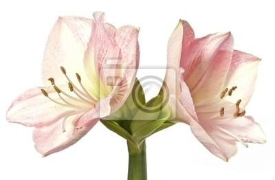 pink amaryllis - lily