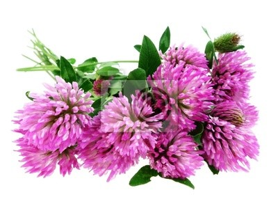 pink clover flowers trefoil isolated on white
