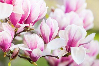 Wall mural pink flower magnolia