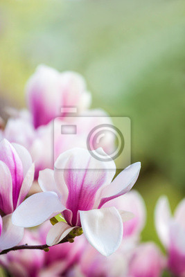 Wall mural pink flower magnolia